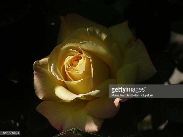 Close-Up Of Yellow Rose In Garden