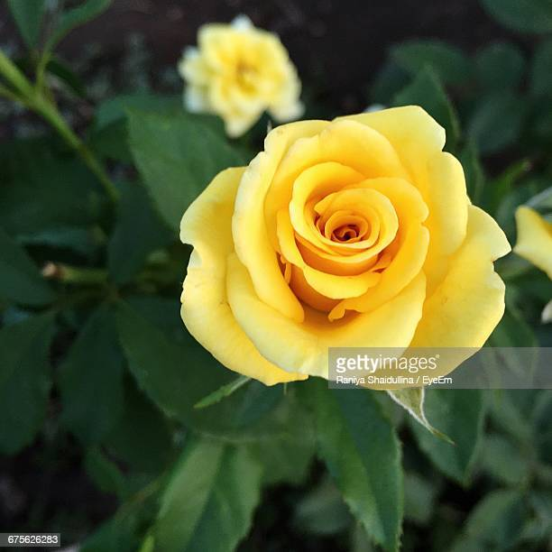 close-up of yellow rose - yellow roses stock photos and pictures