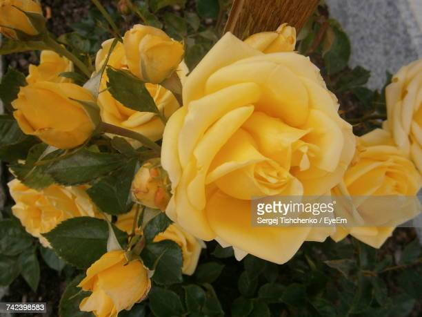 Close-Up Of Yellow Roses Blooming Outdoors