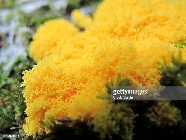 Close-up of yellow slime mold (Fuligo septica)
