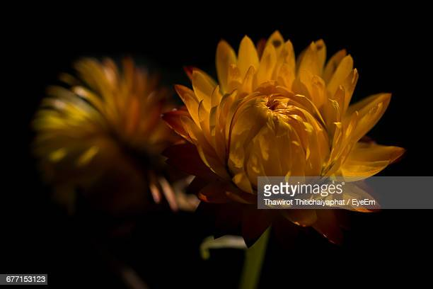 Close-Up Of Yellow Strawflower Bud Against Black Background