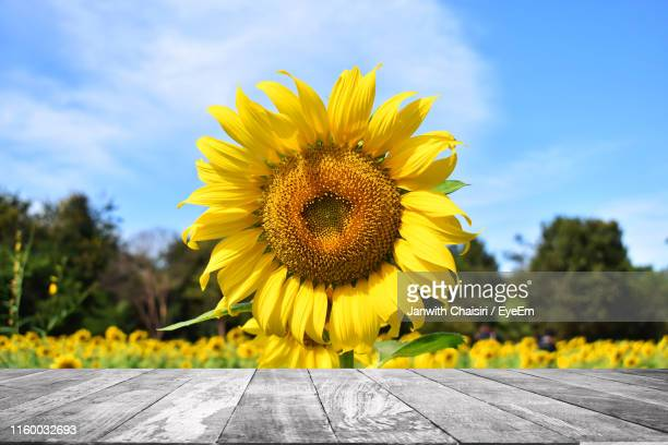 close-up of yellow sunflower against blue sky - thai mueang photos et images de collection