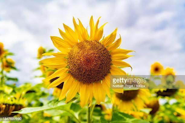 close-up of yellow sunflower against sky,nieby,germany - norbert zingel stock-fotos und bilder