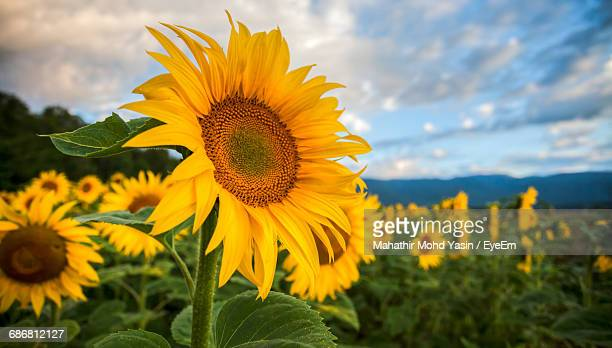 close-up of yellow sunflower growing in field - sunflower stock pictures, royalty-free photos & images