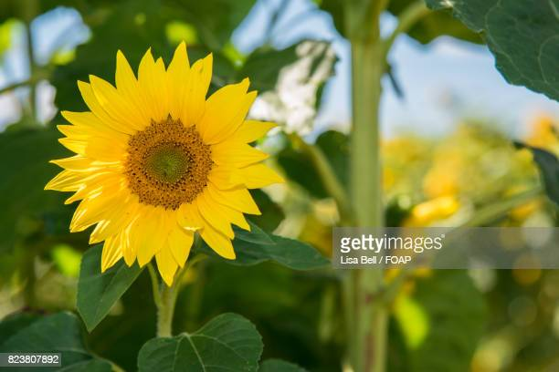 Yellow bell flowers stock photos and pictures getty images close up of yellow sunflower in field mightylinksfo