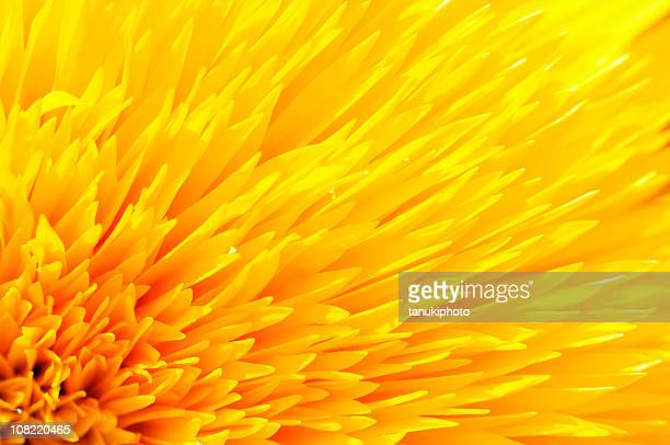 Close-up of Yellow Sunflower Petals