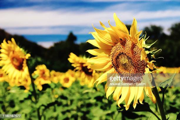 close-up of yellow sunflower - anuwat somhan stock photos and pictures