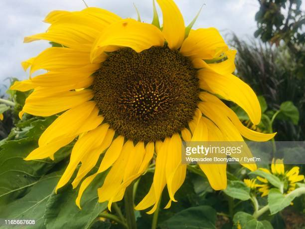 close-up of yellow sunflower - wipavadee stock photos and pictures