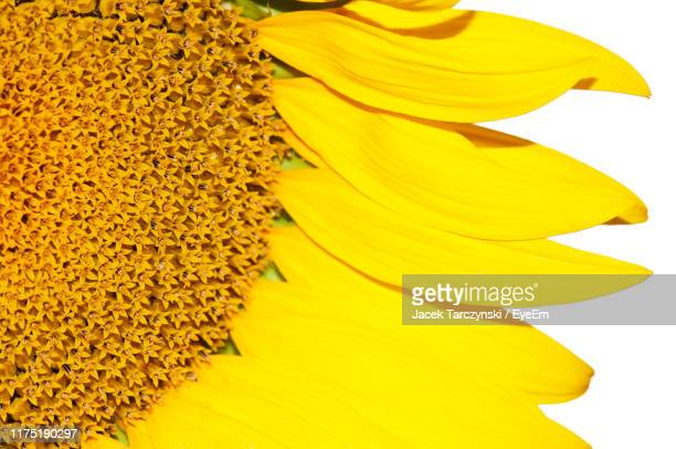 close-up of yellow sunflower - flowering plant stock pictures, royalty-free photos & images