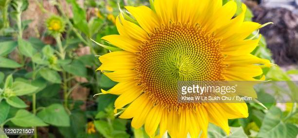 close-up of yellow sunflower - petal stock pictures, royalty-free photos & images
