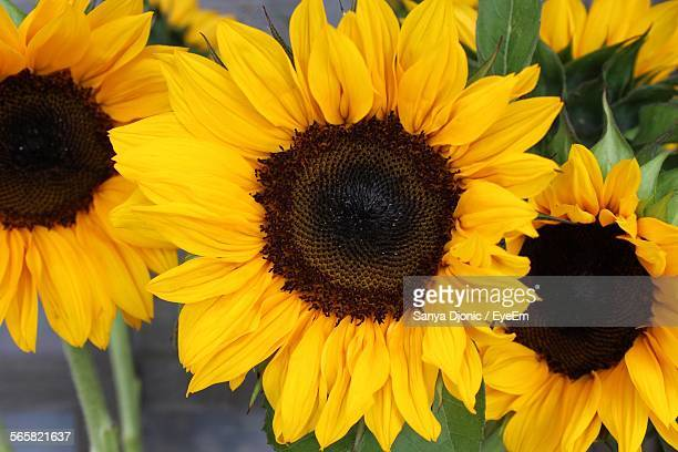 Close-Up Of Yellow Sunflowers