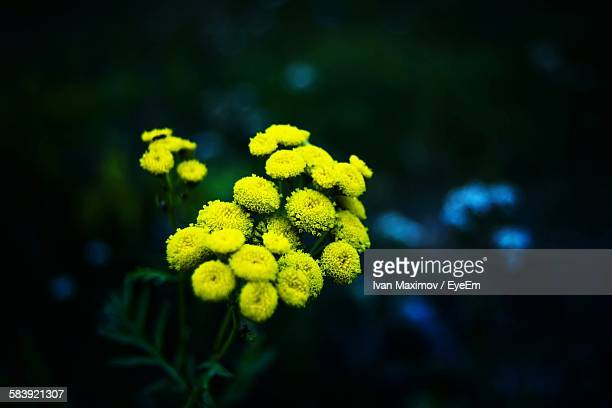 close-up of yellow tansy flowers blooming outdoors - tansy stock pictures, royalty-free photos & images