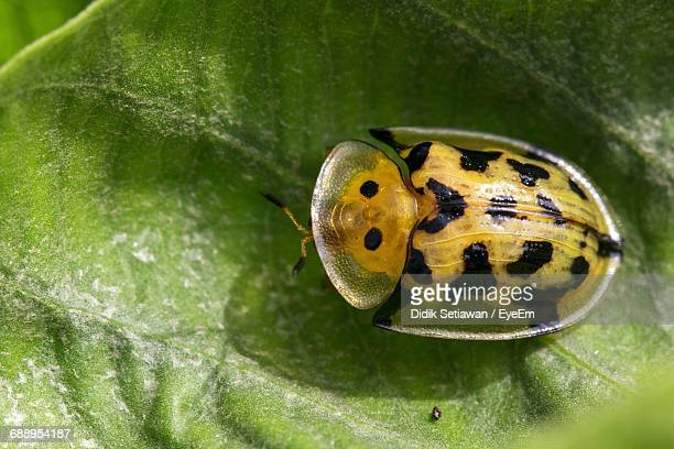 Close-Up Of Yellow Tortoise Shell Beetle On Leaf