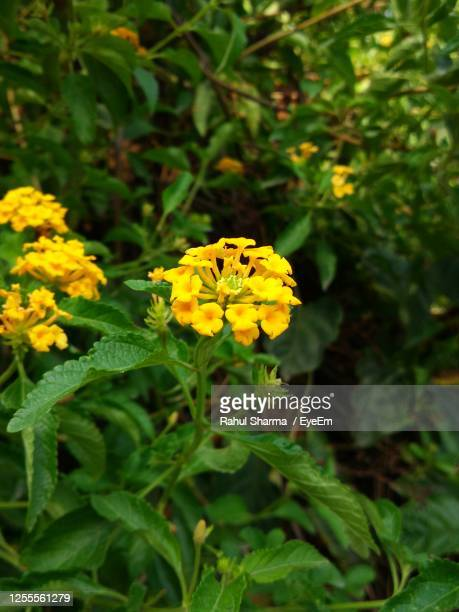 close-up of yellow trailing latana flowering plants on field - chandigarh stock pictures, royalty-free photos & images