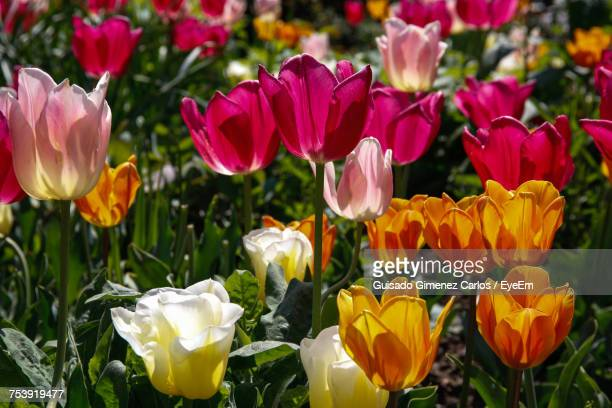 Close-Up Of Yellow Tulips Blooming In Park