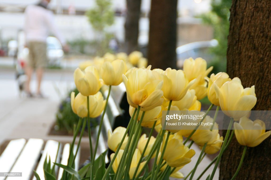 Close-Up Of Yellow Tulips Blooming Outdoors : Stock Photo
