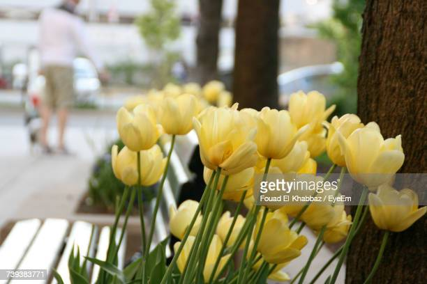 Close-Up Of Yellow Tulips Blooming Outdoors