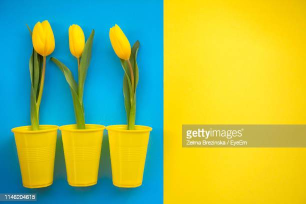 close-up of yellow tulips in containers over colored background - ツートンカラー ストックフォトと画像