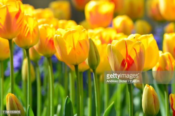 close-up of yellow tulips in field - nord frankrijk stockfoto's en -beelden