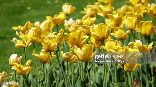 close-up of yellow tulips - marijana stock pictures, royalty-free photos & images