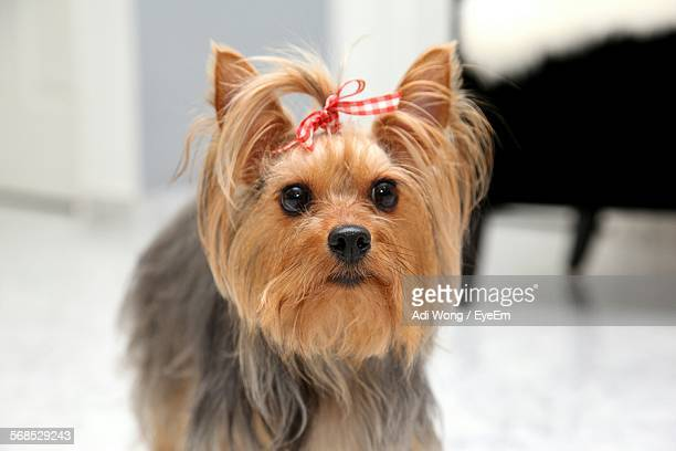 Close-Up Of Yorkshire Terrier At Home