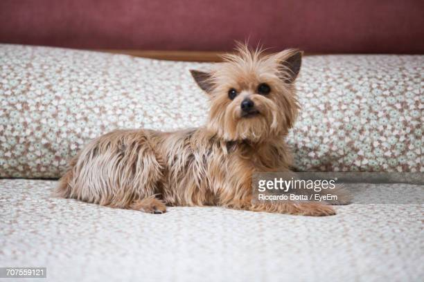 Close-Up Of Yorkshire Terrier Relaxing On Bed At Home