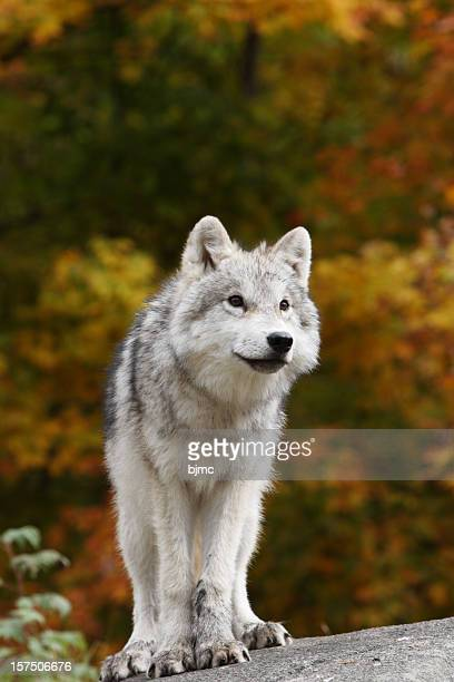close-up of young arctic wolf cub in fall - welp stockfoto's en -beelden