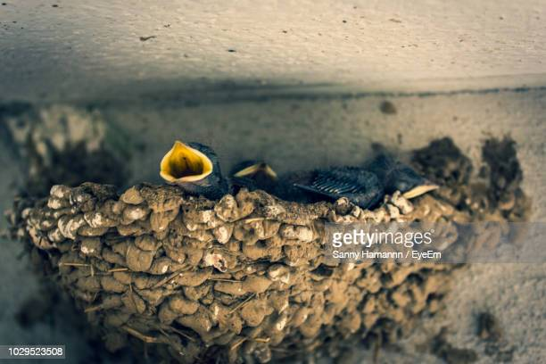close-up of young bird chirping in nest - birdsong stock pictures, royalty-free photos & images