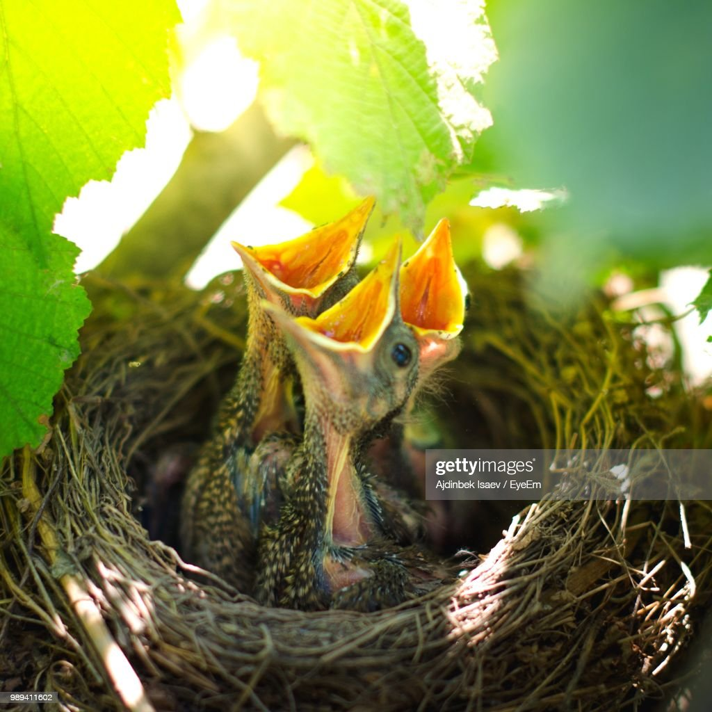 closeup of young birds chirping in nest stock photo getty images