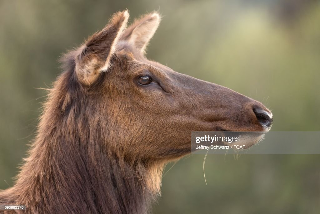 Closeup of young elk stock photo getty images close up of young elk stock photo publicscrutiny Image collections