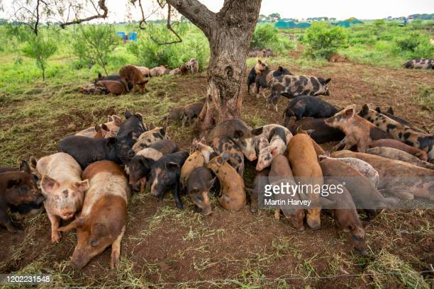 close-up of young free range pigs huddled together under a tree - 雌豚 ストックフォトと画像