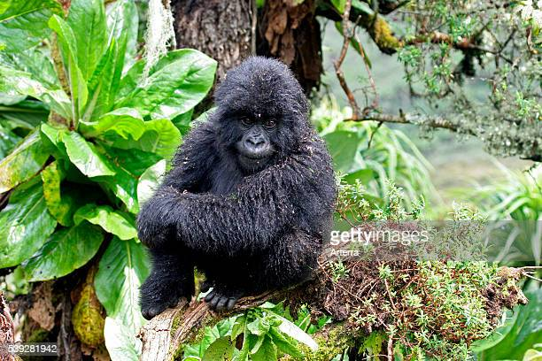 Closeup of young Mountain gorilla member of the Susa group Parc National des Volcans / Volcanoes National Park Rwanda Central Africa