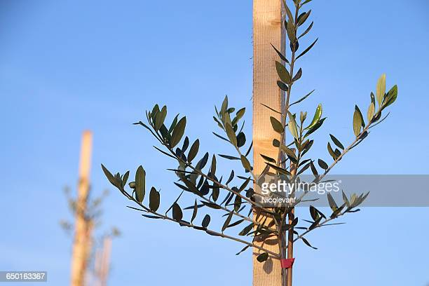 Close-up of young olive tree growing against wooden stake in orchard