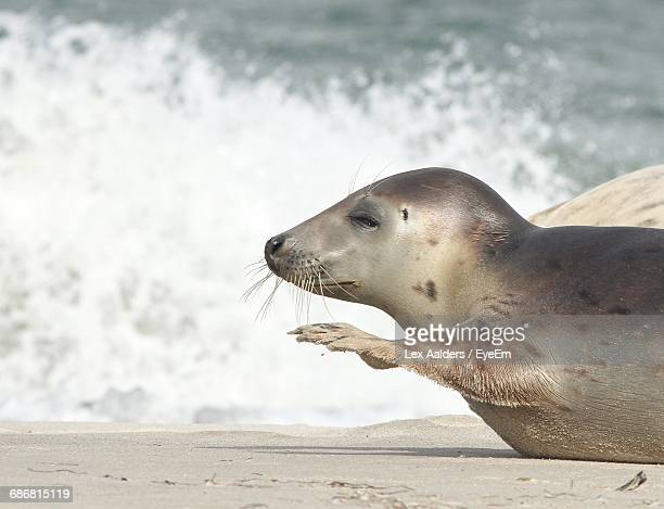Close-Up Of Young Seal On Beach At North Sea