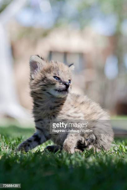 Close-Up Of Young Serval On Field