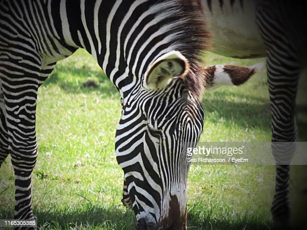 close-up of zebra grazing at zoo - chester zoo stock pictures, royalty-free photos & images
