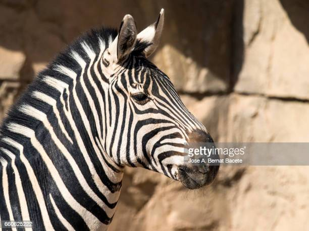 close-up of zebra - formación de roca stock pictures, royalty-free photos & images