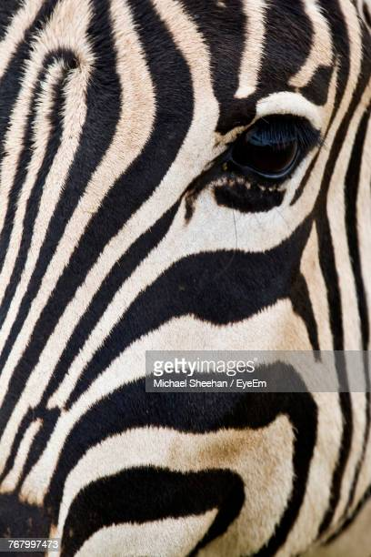 close-up of zebra - animal markings stock pictures, royalty-free photos & images