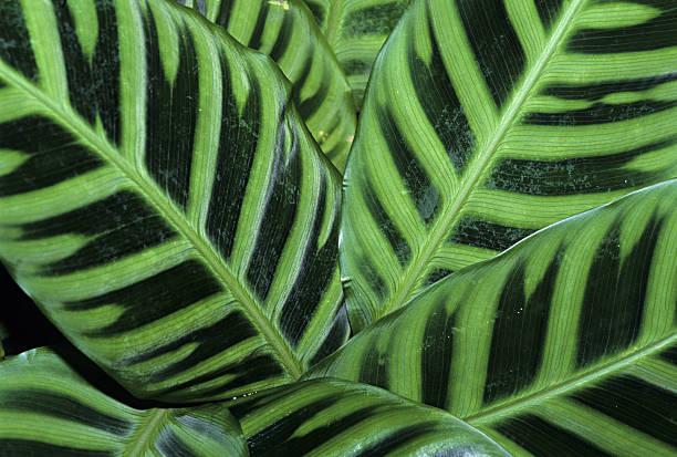 Closeup of Zebra plant leaves, Calathea zebrina, southeastern Brazil (SI)