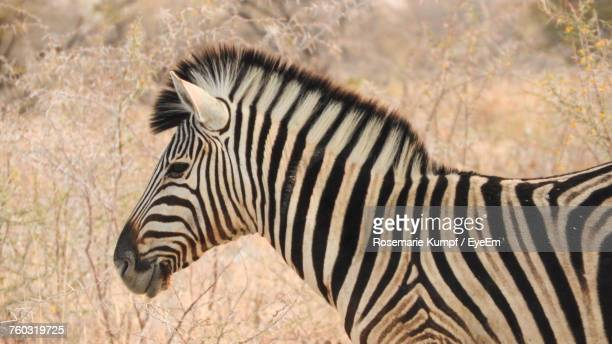 Close-Up Of Zebra Standing On Grass