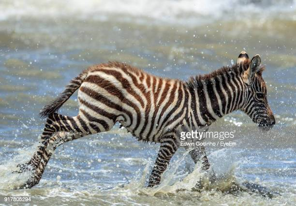 close-up of zebras running in lake - arusha national park stock photos and pictures