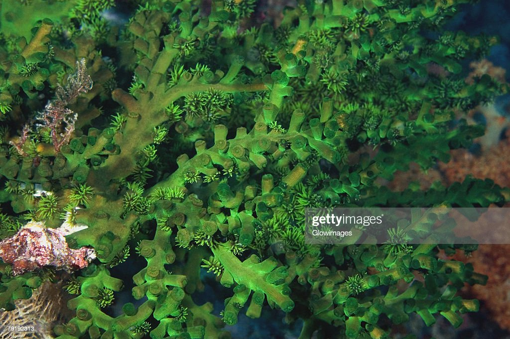 Close-up of Zoantharian underwater, North Sulawesi, Indonesia : Foto de stock