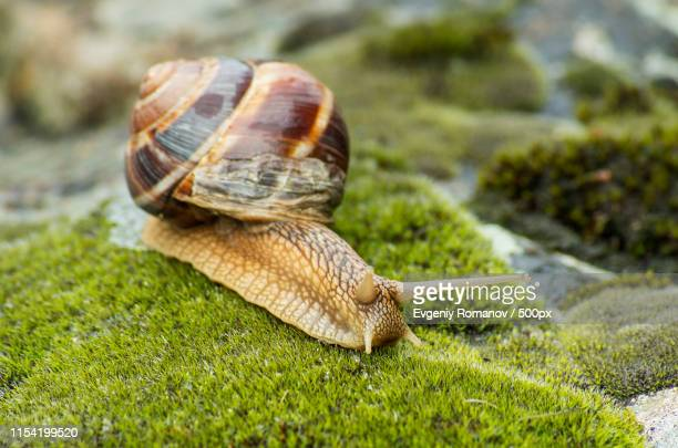 close-up ofachatina fulica - giant african land snail stock pictures, royalty-free photos & images