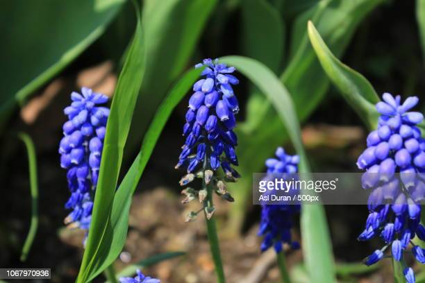 close-up on blue muscaris - grape hyacinth stock pictures, royalty-free photos & images