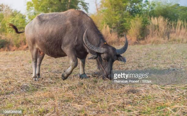 close-up on eating buffalo - asian ox imagens e fotografias de stock