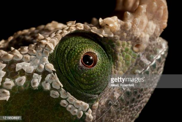 Closeup on eye of a Parson's chameleon male on July 06 Madagascar Mozambique Channel Africa This subspecies of the Parson's chameleon mainly lives in...