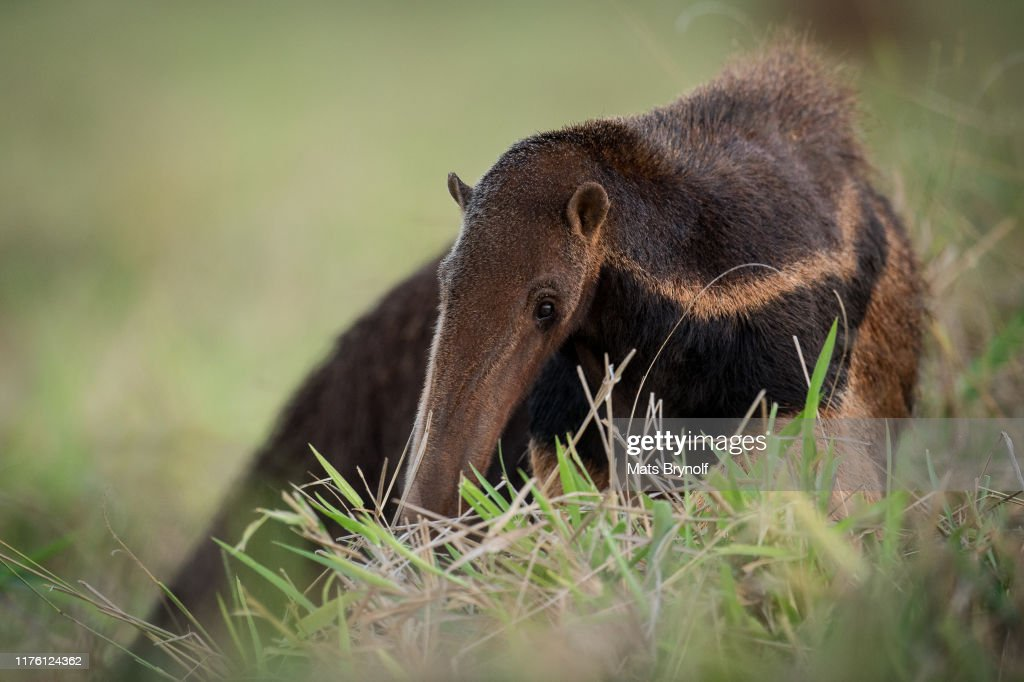 Close-up on Giant Anteater : Stockfoto