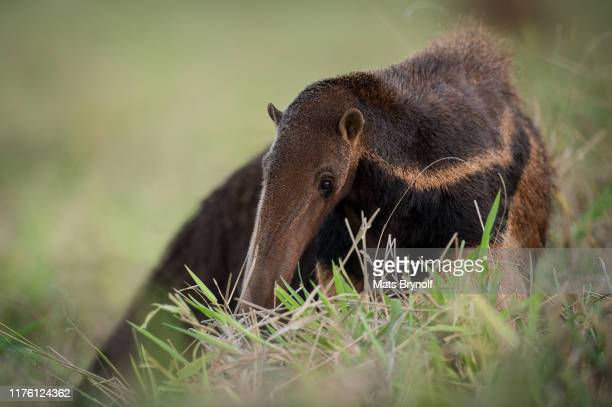 close-up on giant anteater - anteater stock-fotos und bilder