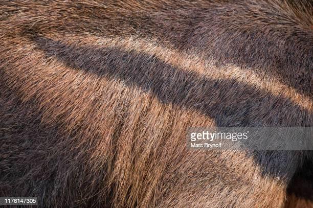 close-up on giant anteater - giant anteater imagens e fotografias de stock