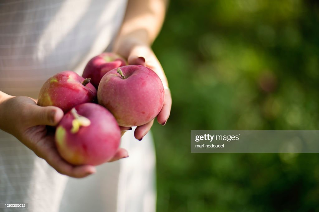 Close-up on hands and apples in an orchard. : Stock Photo